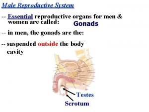 Male Reproductive System Essential reproductive organs for men
