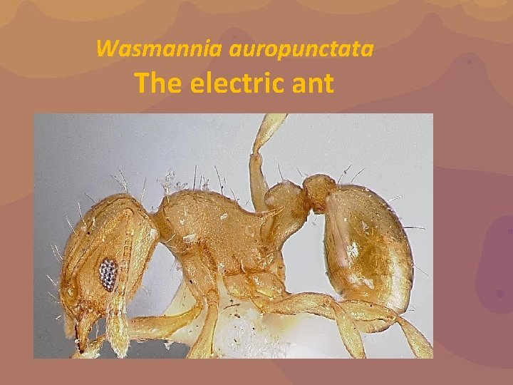 Wasmannia auropunctata The electric ant The electric ant