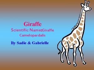 Giraffe Scientific Name Giraffe Camelopardalis By Sadie Gabrielle
