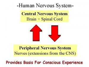 Human Nervous System Central Nervous System Brain Spinal