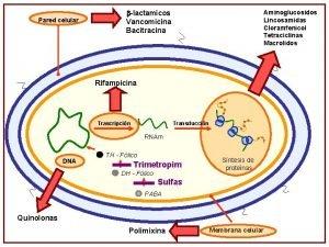 Pared celular lactamicos Vancomicina Bacitracina Aminoglucosidos Lincosamidas Cloramfenicol