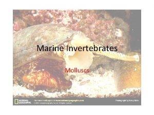 Marine Invertebrates Molluscs Molluscs Snails clams octopuses and