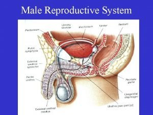 Male Reproductive System Organs of Male Reproduction Gonads