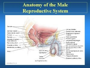 Anatomy of the Male Reproductive System Anatomy of