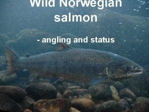Wild Norwegian salmon angling and status The sunny