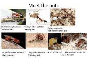 Meet the ants Camponotus floridanus Carpenter ant Harpegnathos