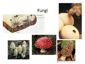 Fungi DOMAIN Eukarya KINGDOM Fungi General Characteristics Eukaryotic