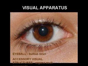 VISUAL APPARATUS EYEBALL bulbus oculi ACCESSORY VISUAL STRUCTURES