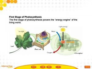 First Stage of Photosynthesis The first stage of