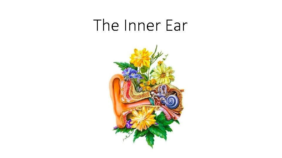 The Inner Ear Inner ear anatomy Anatomy Inner