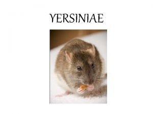 YERSINIAE Yersinia Morphology Important species Pathogenesis Disease caused
