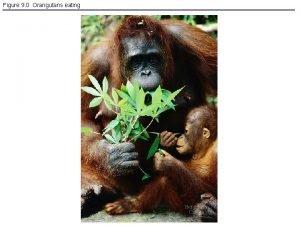 Figure 9 0 Orangutans eating Figure 9 1