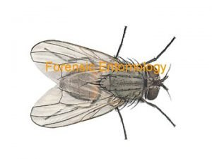 Forensic Entomology What is it The use of