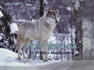 GRAY WOLVES By Odley Bonhomme Domain The Gray