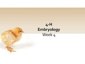 4 H Embryology Week 4 4 H Pledge