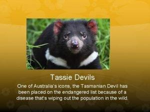Tassie Devils One of Australias icons the Tasmanian