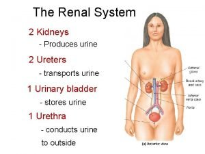 The Renal System 2 Kidneys Produces urine 2
