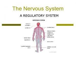 The Nervous System A REGULATORY SYSTEM The Nervous