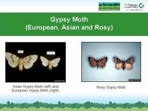 Gypsy Moth European Asian and Rosy Asian Gypsy