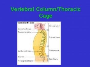Vertebral ColumnThoracic Cage Vertebral Column Connects skull to