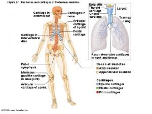 Figure 6 1 The bones and cartilages of