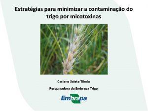 Estratgias para minimizar a contaminao do trigo por