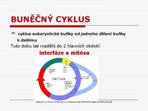 BUNN CYKLUS cyklus eukaryotick buky od jednoho dlen