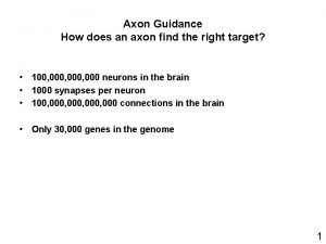 Axon Guidance How does an axon find the