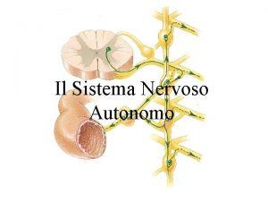 Il Sistema Nervoso Autonomo Il Sistema Nervoso Autonomo