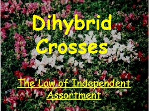 Dihybrid Crosses The Law of Independent Assortment Independent