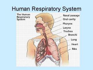 Human Respiratory System Parts of respiratory system Nostrils