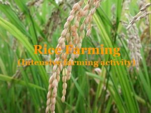 Rice Farming Intensive farming activity Rice cultivation Rice
