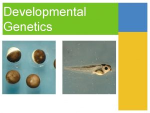Developmental Genetics Three Stages of Development division morphogenesis