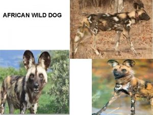 AFRICAN WILD DOG There are lots of different