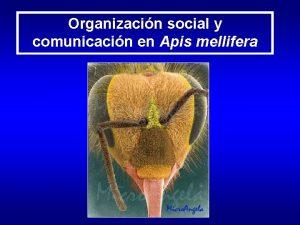Organizacin social y comunicacin en Apis mellifera Organizacin