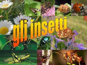 Come sono fatti gli insetti Gli insetti adulti