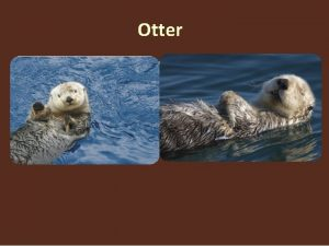Otter Otters are semiaquatic or in one case
