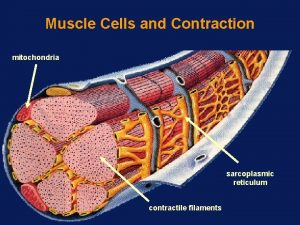 Muscle Cells and Contraction mitochondria sarcoplasmic reticulum contractile