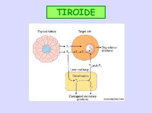 TIROIDE TIROIDE In molti mammiferi caudalmente alla laringe