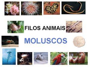 FILOS ANIMAIS MOLUSCOS FILO MOLLUSCA Animais de corpo