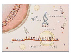Sntesis de protenas en eucariontes Consta de 2