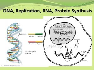 DNA Replication RNA Protein Synthesis REVIEW OF DNA
