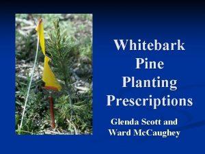 Whitebark Pine Planting Prescriptions Glenda Scott and Ward