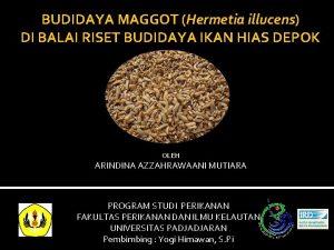 BUDIDAYA MAGGOT Hermetia illucens DI BALAI RISET BUDIDAYA