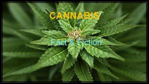 CANNABIS Fact Fiction DISCLOSURE Medical Director and 13