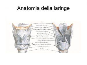 Anatomia della laringe Anatomia della laringe Visione laringoscopica