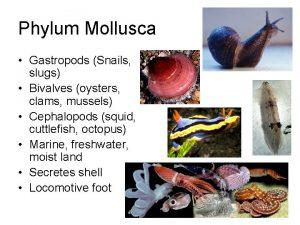 Phylum Mollusca Gastropods Snails slugs Bivalves oysters clams