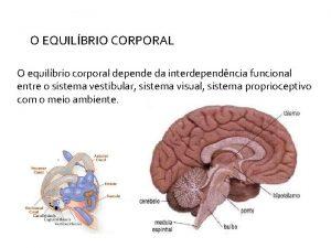 O EQUILBRIO CORPORAL O equilbrio corporal depende da
