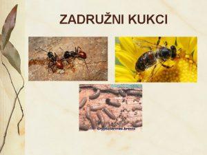 ZADRUNI KUKCI MRAVI Openito o mravima Mravi su