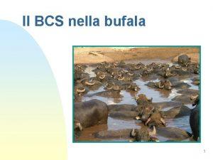 Il BCS nella bufala 1 BCS nella Bufala